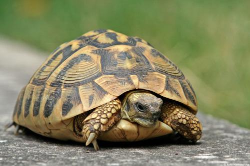 Le malattie delle tartarughe for Tartarughe razze