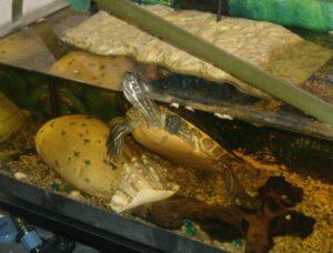 Allestire in modo corretto l 39 acquaterrario per le tartarughe for Tartarughe razze