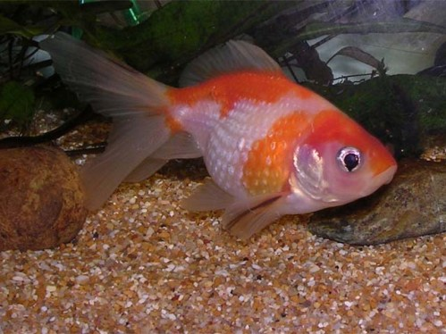 Come comportarsi quando i pesci cambiano colore for Quanto vivono i pesci rossi