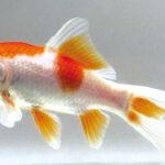 Pesci rossi maschio o femmina for Vasca x pesci rossi