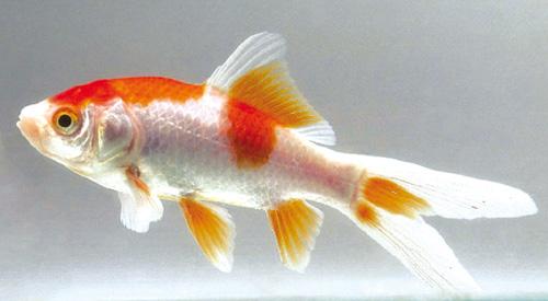 Pesci rossi maschio o femmina for Razze di pesci rossi