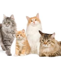 Razza Gatto Certosino Gatto Persiano Gatto Siberiano
