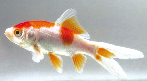 pesci rossi maschio o femmina