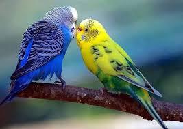 I pappagalli domestici e la loro alimentazione